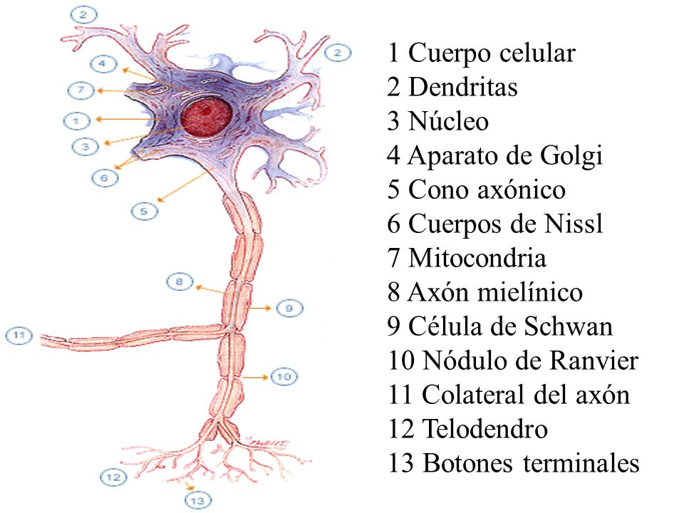 1 Cuerpo celular 2 Dendritas. 3 Núcleo. 4 Aparato de Golgi. 5 Cono axónico. 6 Cuerpos de Nissl.