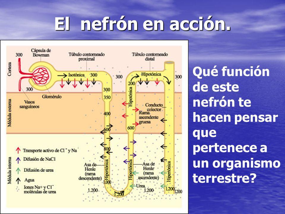 El nefrón en acción.