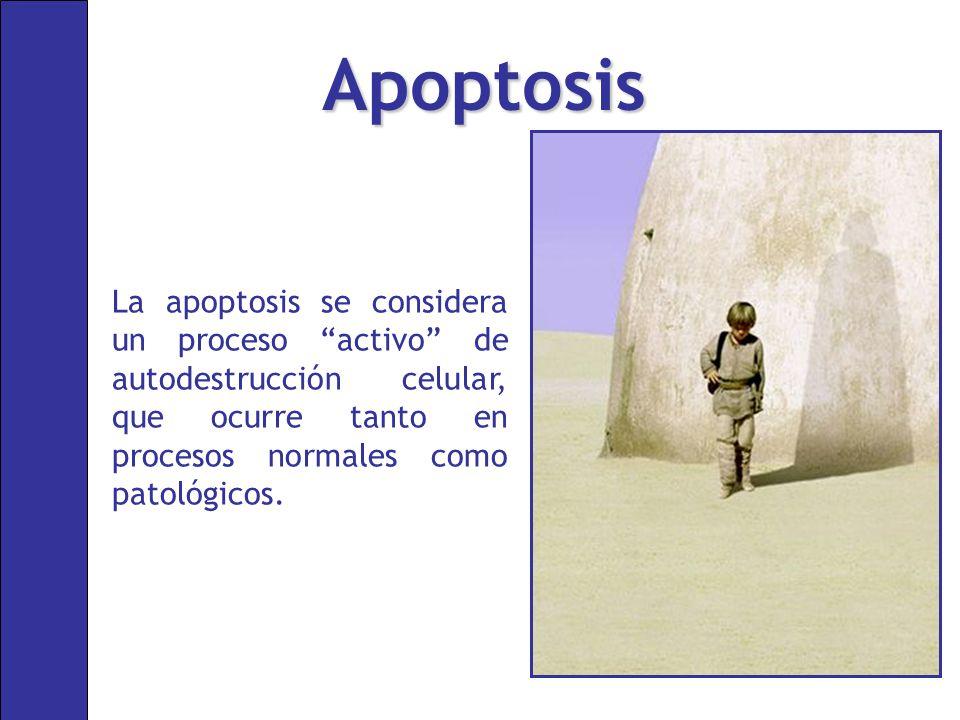 Apoptosis La apoptosis se considera un proceso activo de autodestrucción celular, que ocurre tanto en procesos normales como patológicos.
