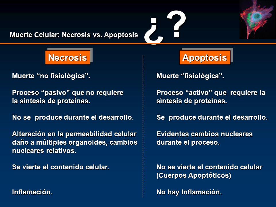 Necrosis Apoptosis Muerte Celular: Necrosis vs. Apoptosis ¿