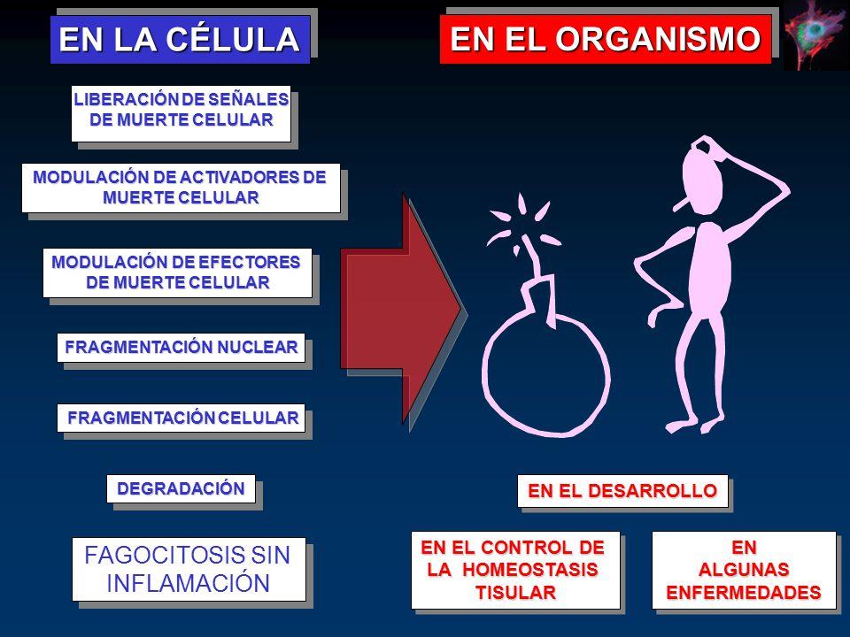 EN LA CÉLULA EN EL ORGANISMO FAGOCITOSIS SIN INFLAMACIÓN