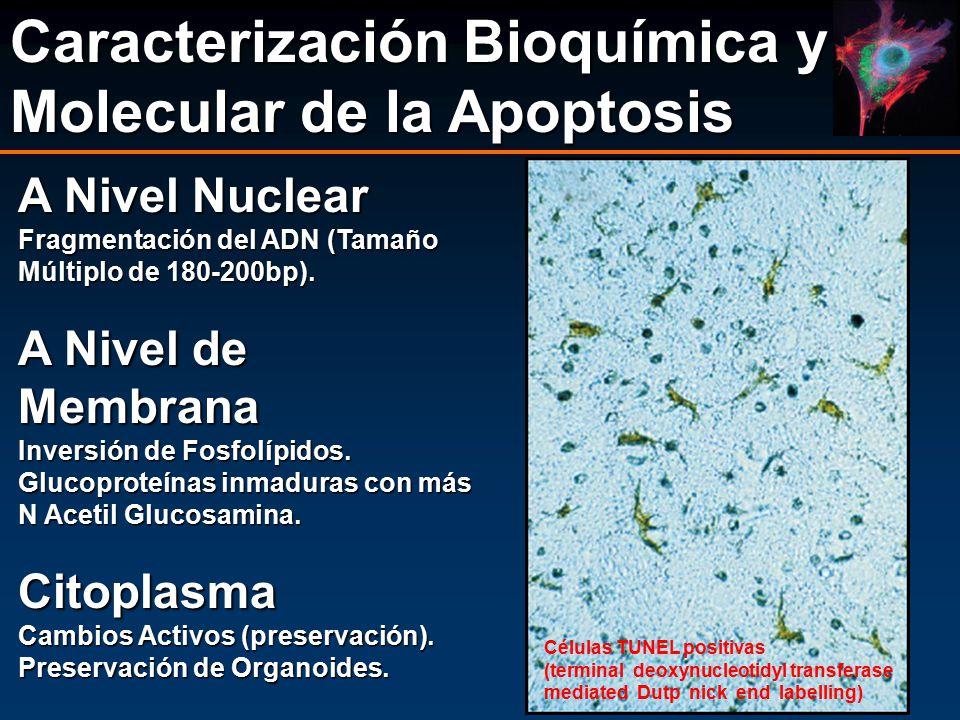 Caracterización Bioquímica y Molecular de la Apoptosis