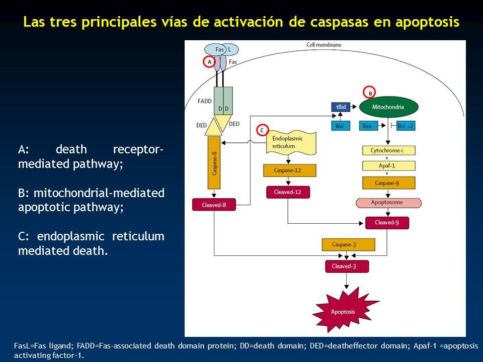 Las tres principales vías de activación de caspasas en apoptosis