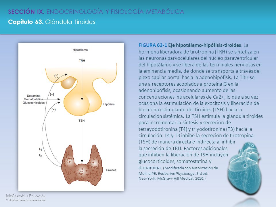 FIGURA 63-1 Eje hipotálamo-hipófisis-tiroides
