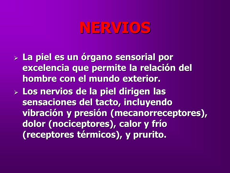 NERVIOS La piel es un órgano sensorial por excelencia que permite la relación del hombre con el mundo exterior.