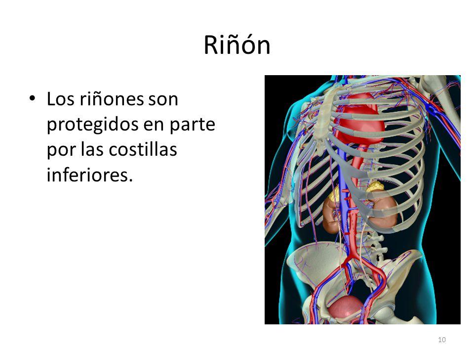 Riñón Los riñones son protegidos en parte por las costillas inferiores.