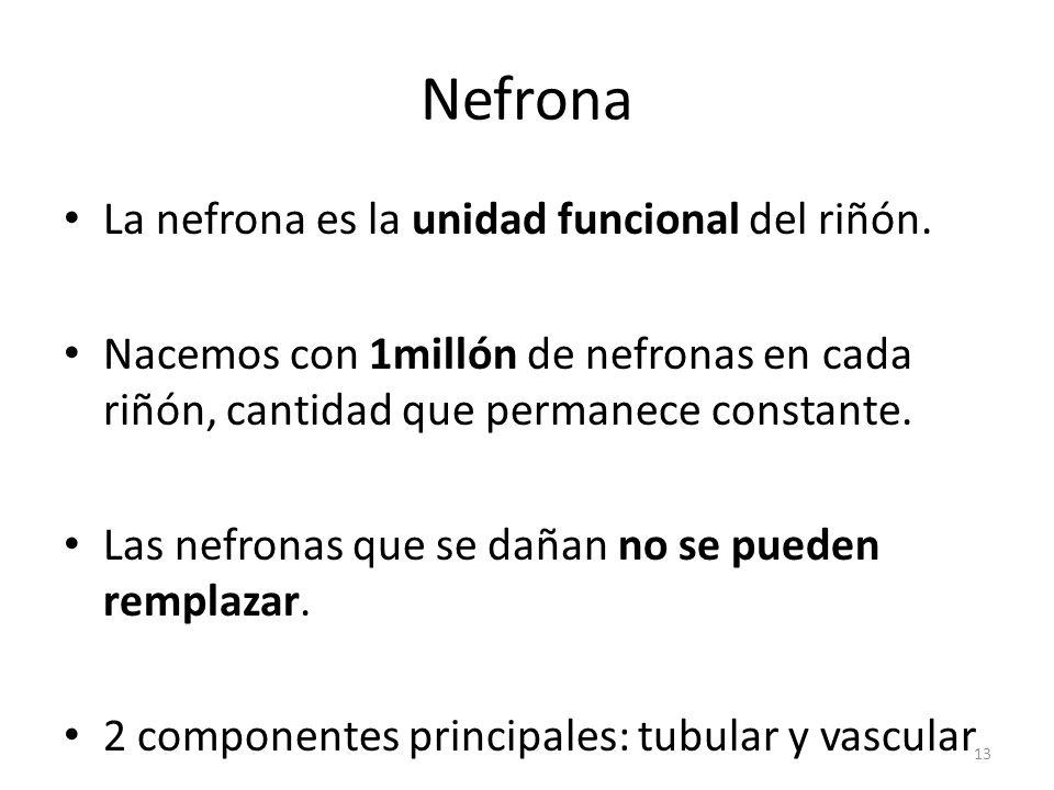 Nefrona La nefrona es la unidad funcional del riñón.