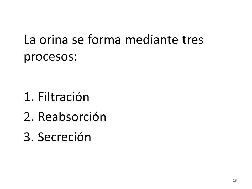 La orina se forma mediante tres procesos: