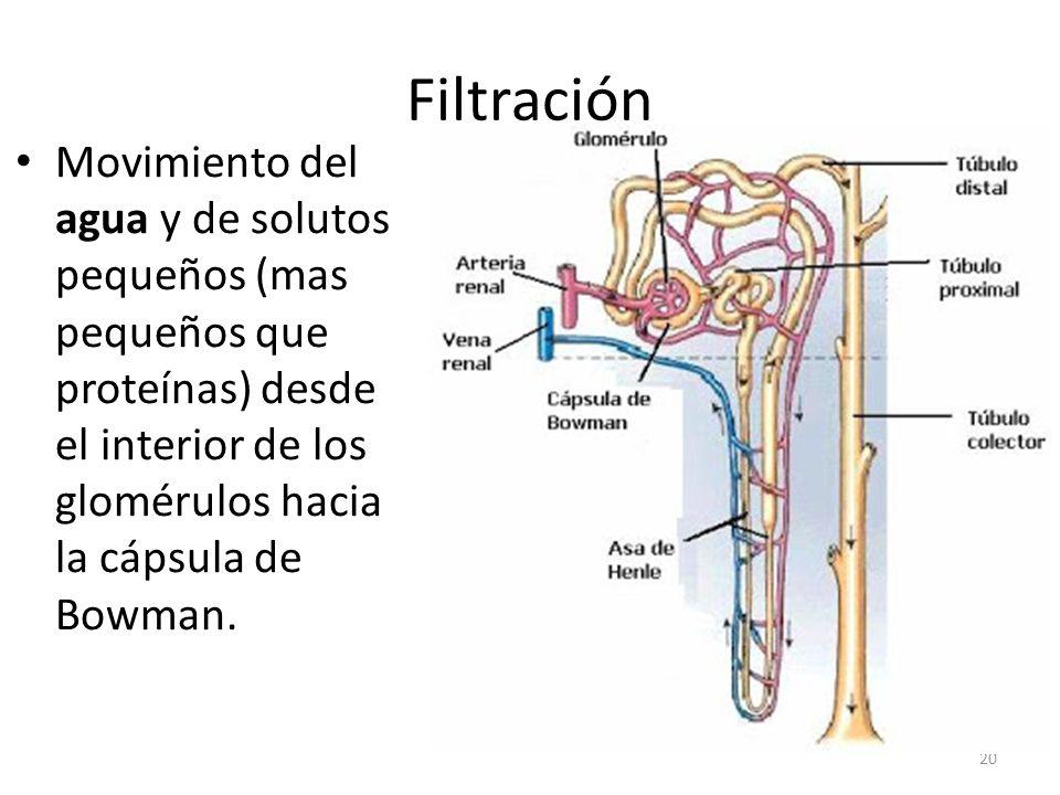 Filtración Movimiento del agua y de solutos pequeños (mas pequeños que proteínas) desde el interior de los glomérulos hacia la cápsula de Bowman.