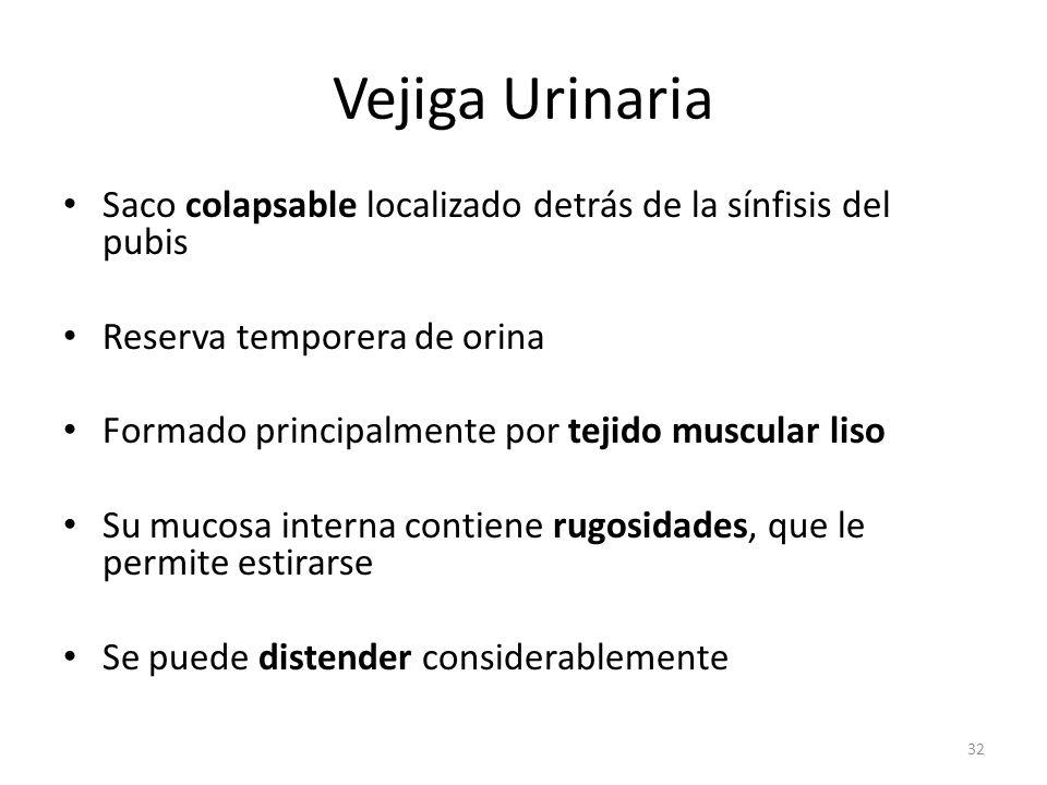 Vejiga Urinaria Saco colapsable localizado detrás de la sínfisis del pubis. Reserva temporera de orina.