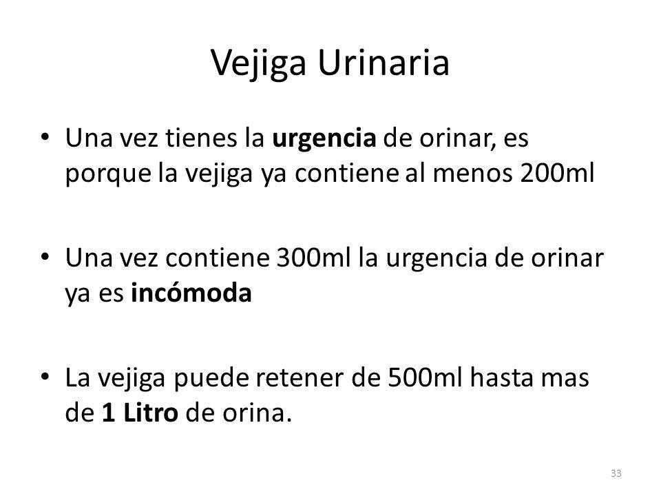 Vejiga Urinaria Una vez tienes la urgencia de orinar, es porque la vejiga ya contiene al menos 200ml.