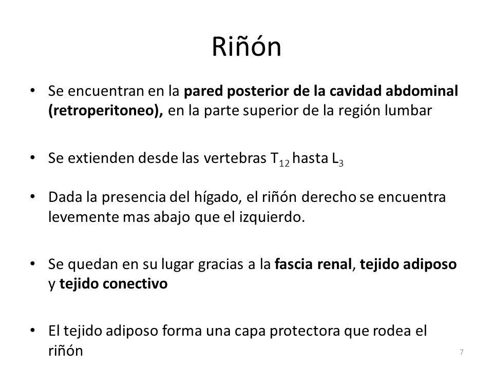 Riñón Se encuentran en la pared posterior de la cavidad abdominal (retroperitoneo), en la parte superior de la región lumbar.