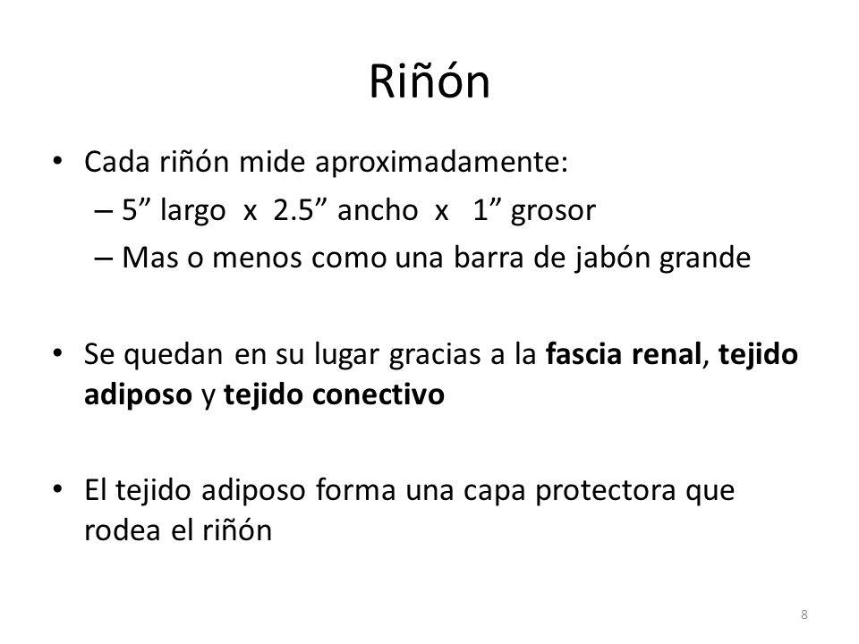 Riñón Cada riñón mide aproximadamente: