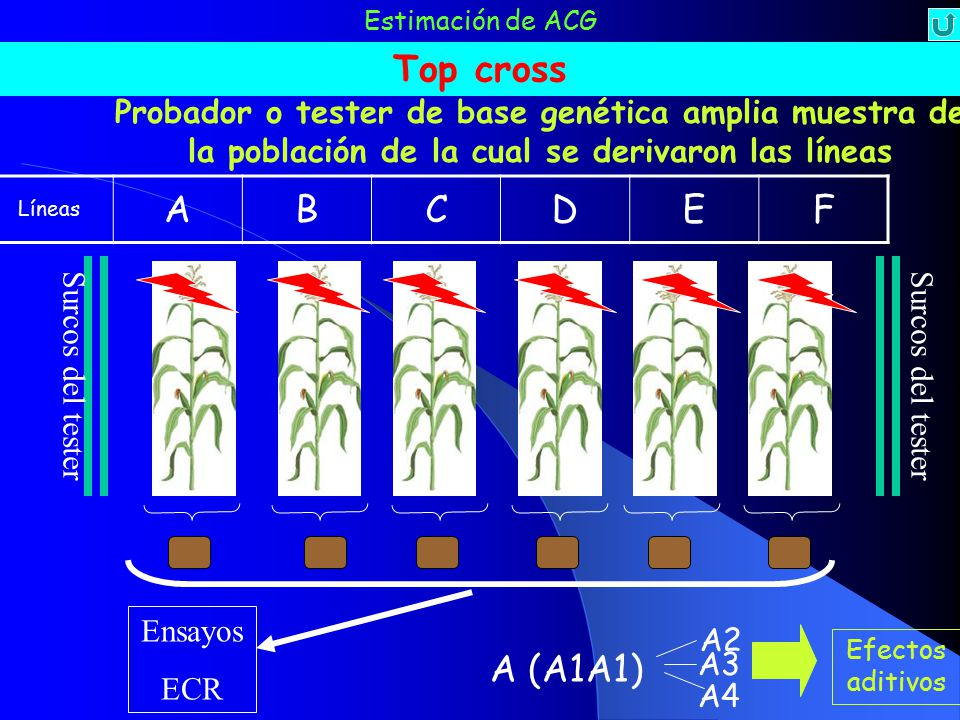 Estimación de ACG Top cross. Probador o tester de base genética amplia muestra de la población de la cual se derivaron las líneas.