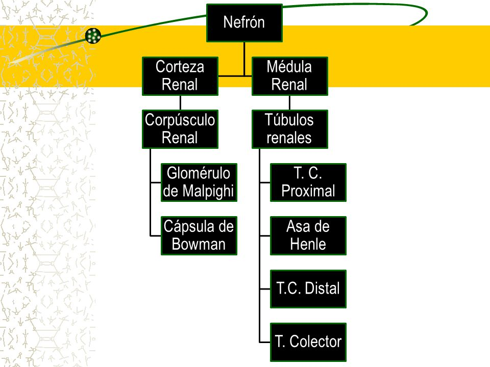 Nefrón Corteza Renal. Corpúsculo Renal. Glomérulo de Malpighi. Cápsula de Bowman. Médula Renal.