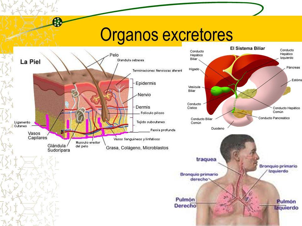 Organos excretores