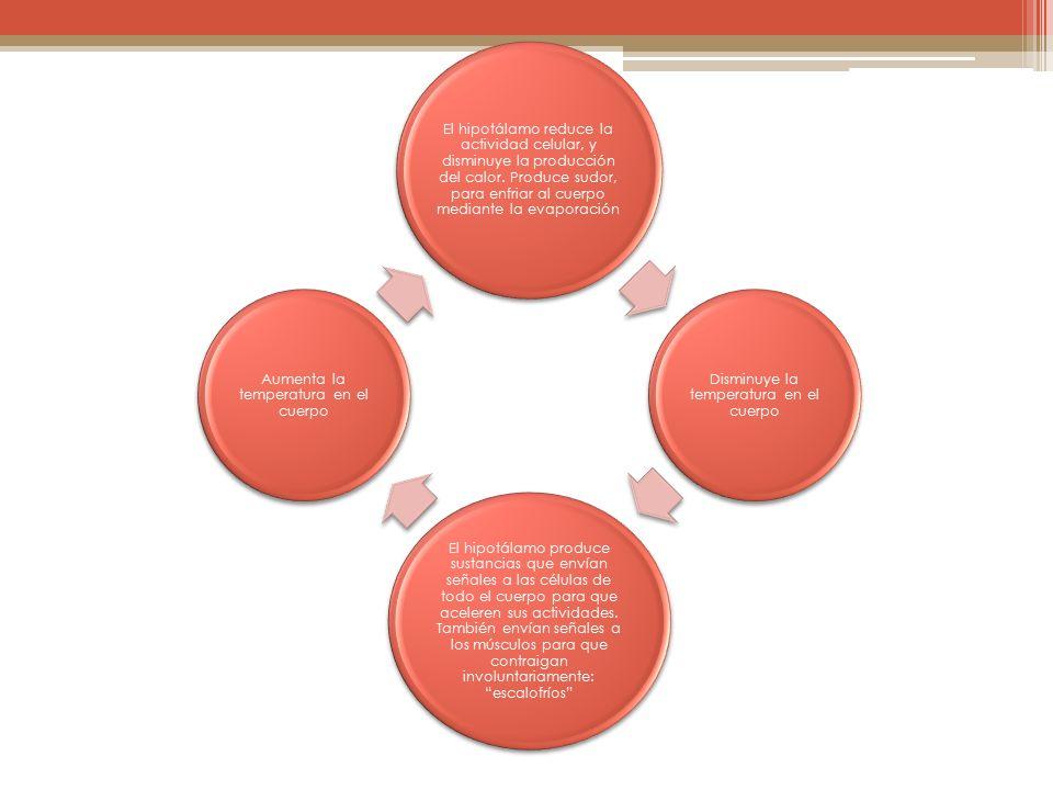 El hipotálamo reduce la actividad celular, y disminuye la producción del calor. Produce sudor, para enfriar al cuerpo mediante la evaporación