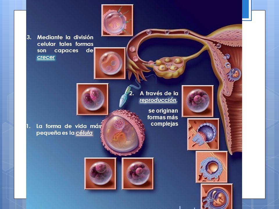 Mediante la división celular tales formas son capaces de crecer