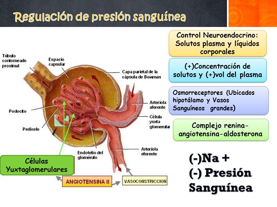 Regulación de presión sanguínea