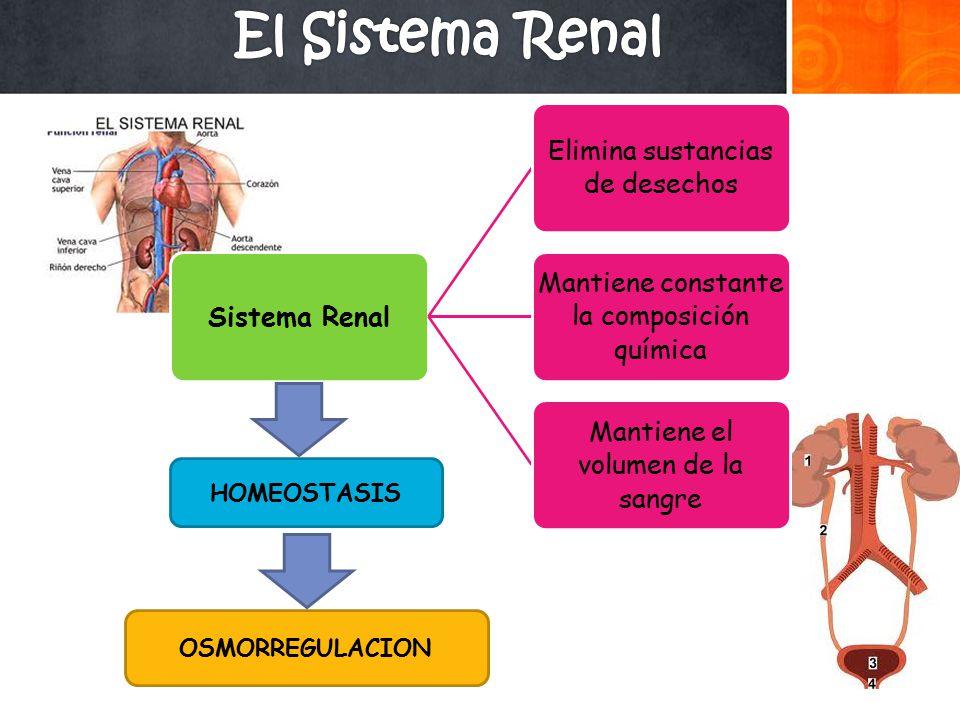 El Sistema Renal HOMEOSTASIS OSMORREGULACION Sistema Renal