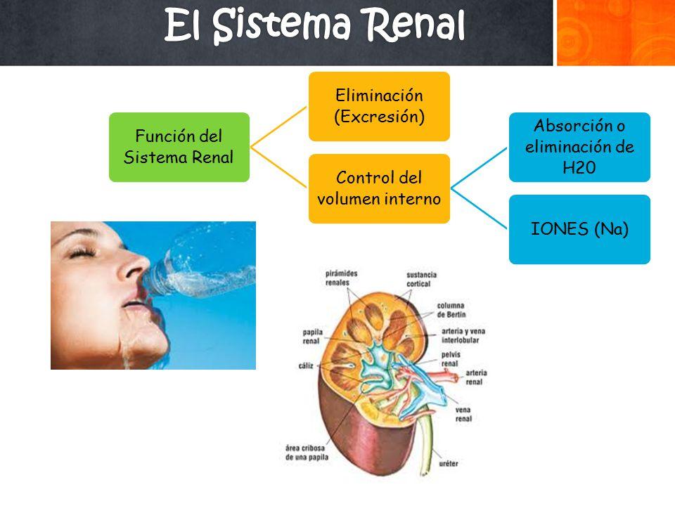 El Sistema Renal Función del Sistema Renal Eliminación (Excresión)