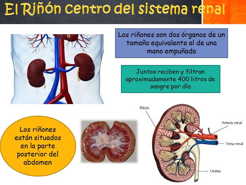 El Riñón centro del sistema renal