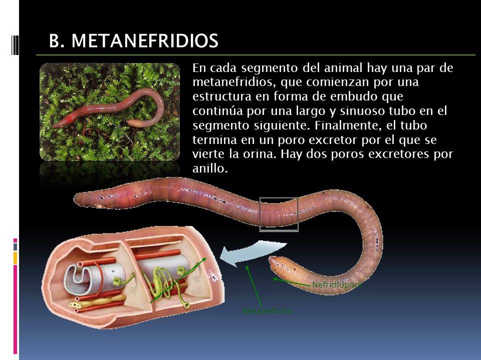 B. METANEFRIDIOS