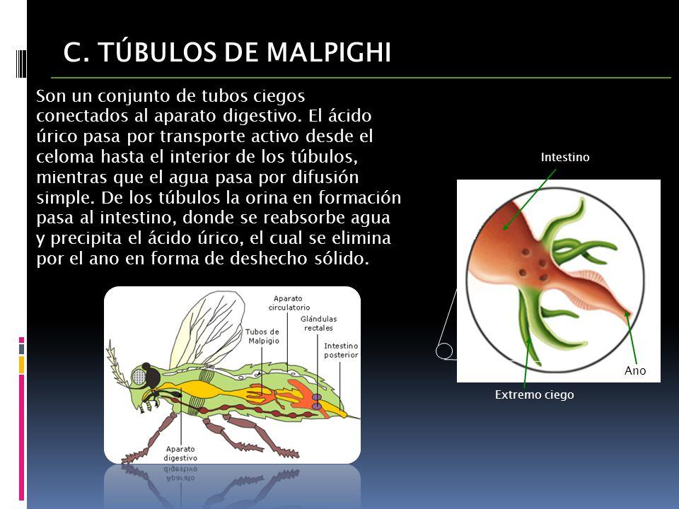 C. TÚBULOS DE MALPIGHI