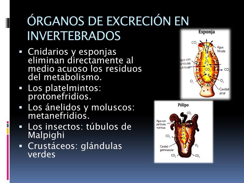 ÓRGANOS DE EXCRECIÓN EN INVERTEBRADOS