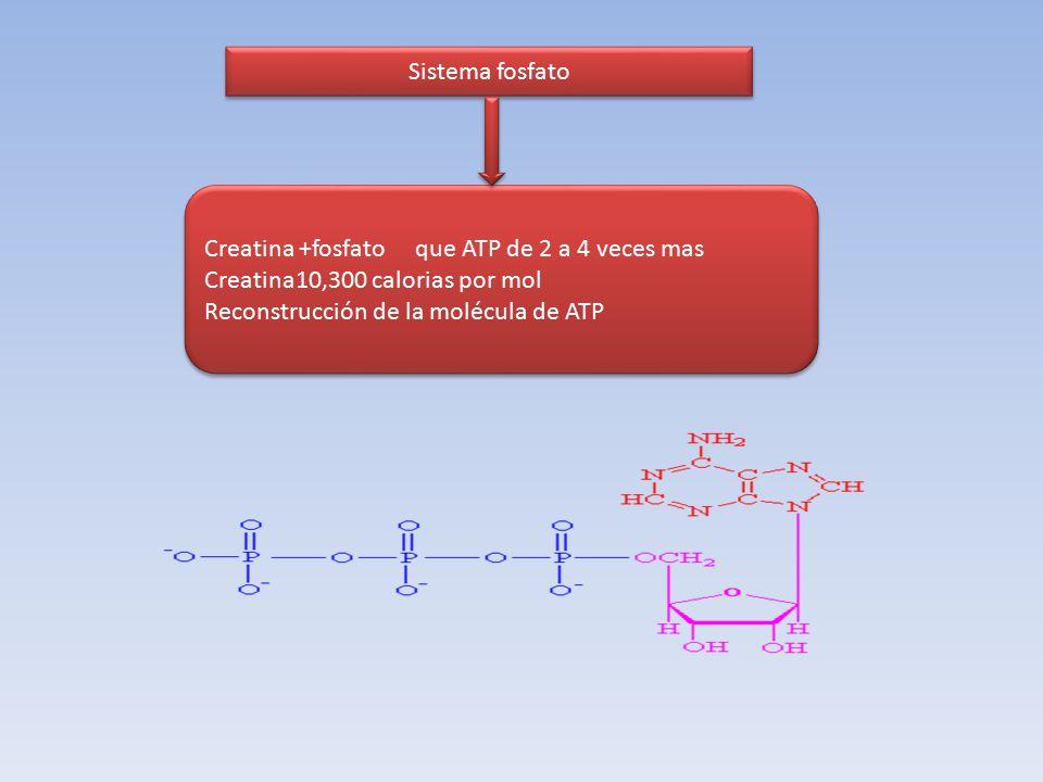 Sistema fosfato Creatina +fosfato que ATP de 2 a 4 veces mas. Creatina10,300 calorias por mol.
