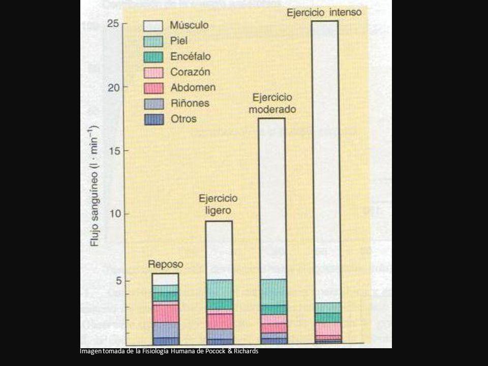 Imagen tomada de la Fisiología Humana de Pocock & Richards