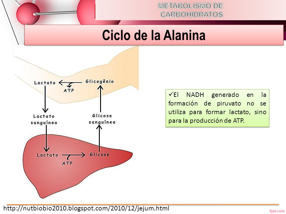 Ciclo de la Alanina METABOLISMO DE CARBOHIDRATOS