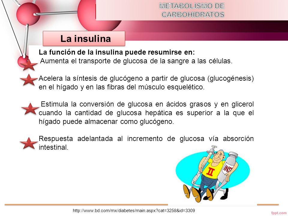 La insulina METABOLISMO DE CARBOHIDRATOS