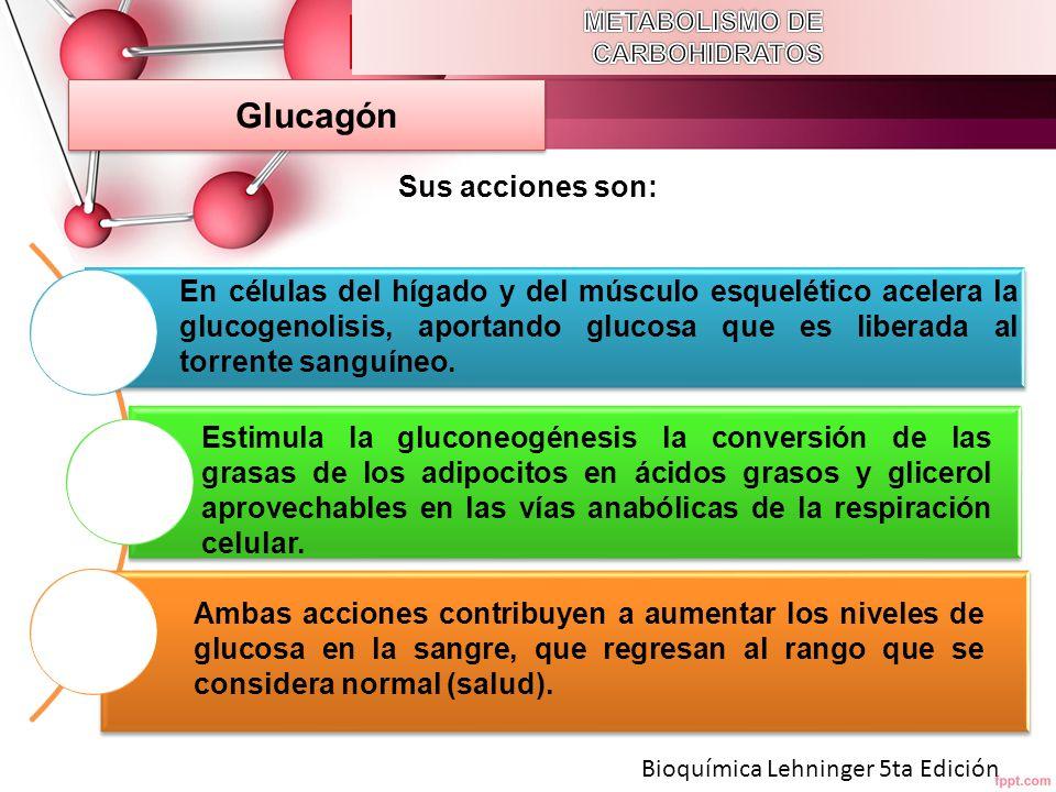 Glucagón Sus acciones son:
