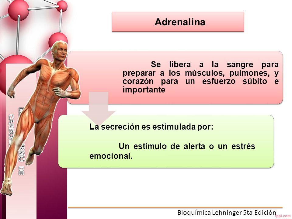 Adrenalina Se libera a la sangre para preparar a los músculos, pulmones, y corazón para un esfuerzo súbito e importante.