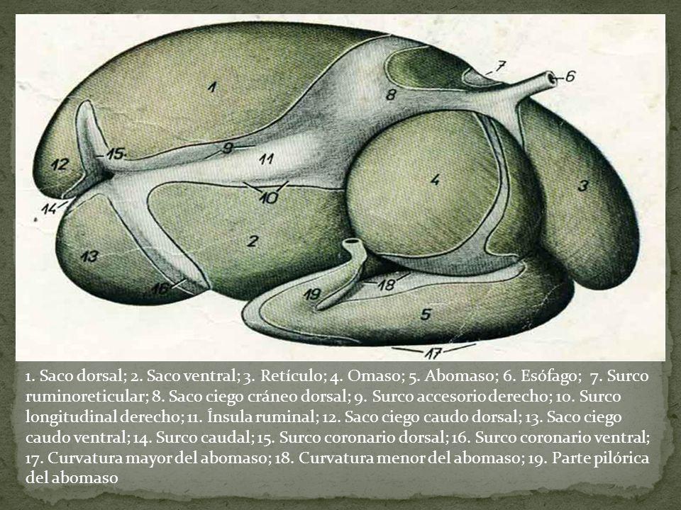1. Saco dorsal; 2. Saco ventral; 3. Retículo; 4. Omaso; 5. Abomaso; 6