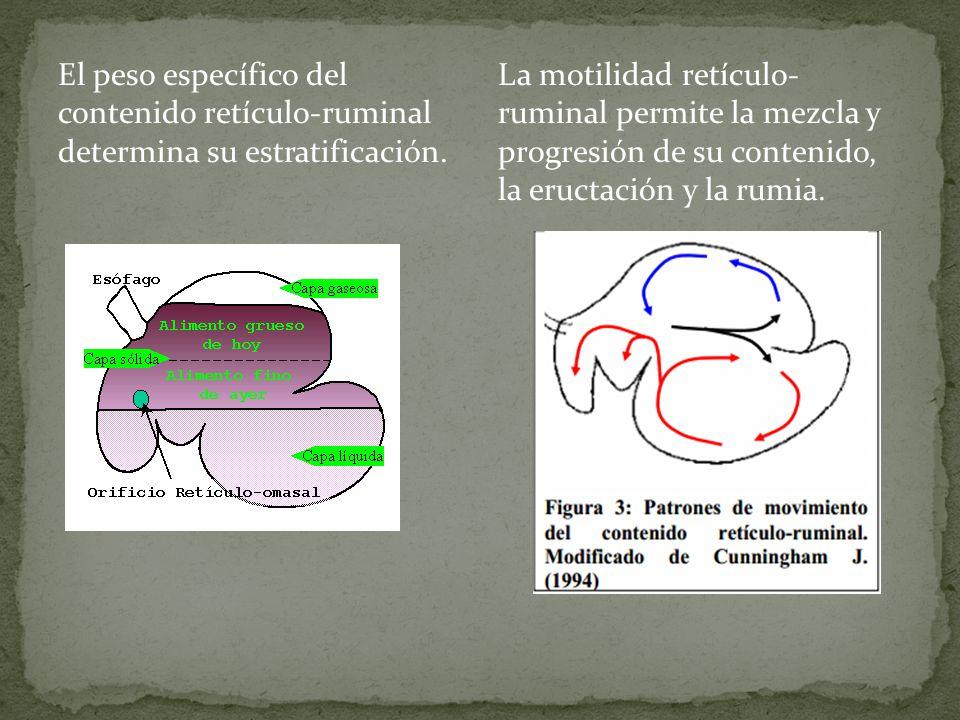 El peso específico del contenido retículo-ruminal determina su estratificación.