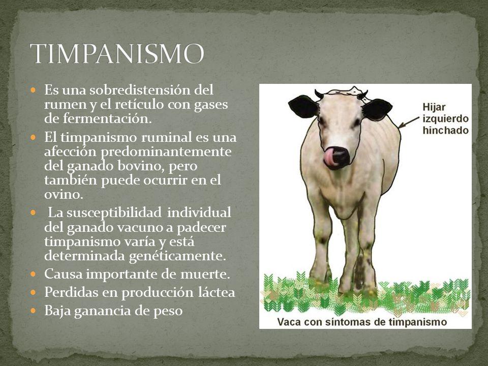 TIMPANISMO Es una sobredistensión del rumen y el retículo con gases de fermentación.