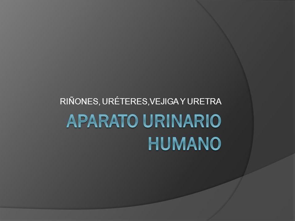 APARATO URINARIO HUMANO