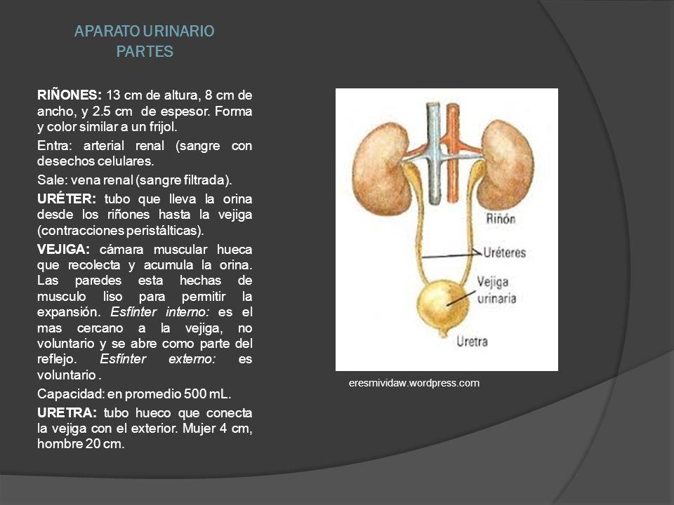 APARATO URINARIO PARTES