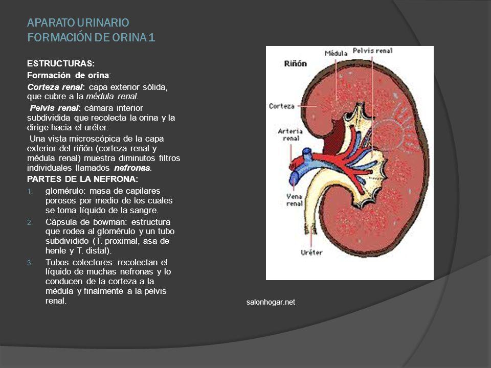 APARATO URINARIO FORMACIÓN DE ORINA 1