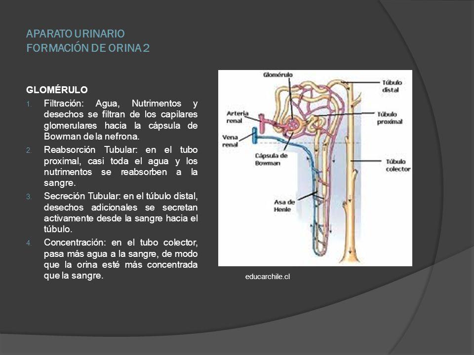 APARATO URINARIO FORMACIÓN DE ORINA 2