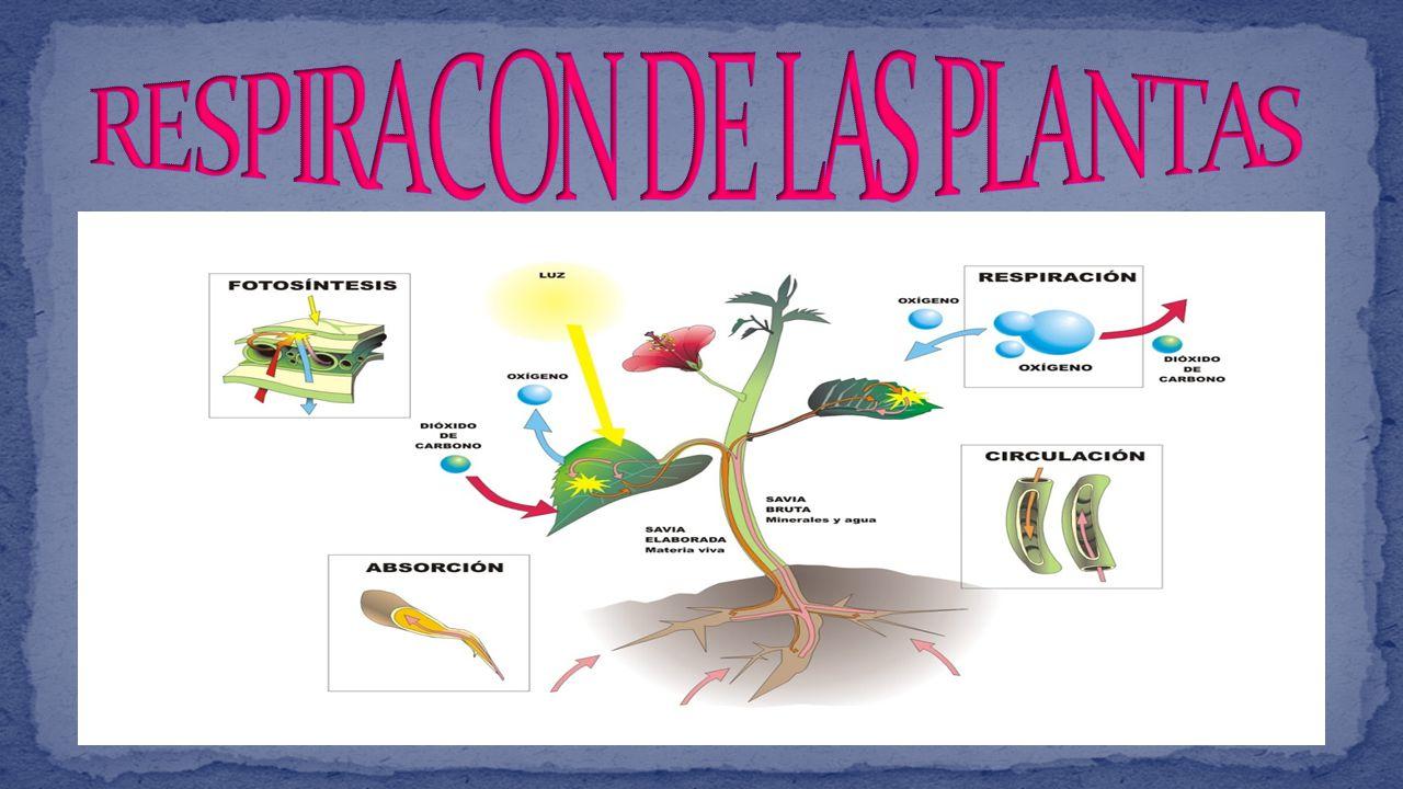 RESPIRACON DE LAS PLANTAS