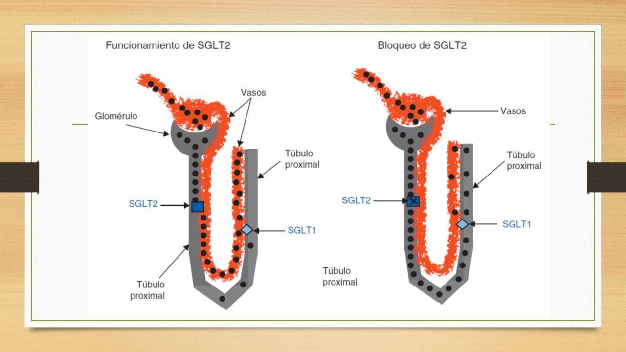 En el de la izq se observa la glucosa en puntos negros, en SGLT 2 se absorbe un gran porcentaje mientras en el segmento S2 – 3, se reabsorbe por medio del SGLT1. Por lo tanto no hay glucosa en la orina.