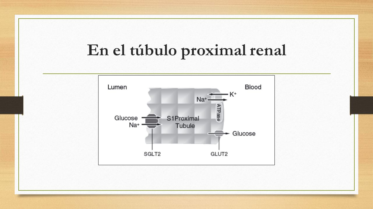 En el túbulo proximal renal