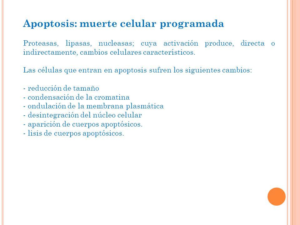 Apoptosis: muerte celular programada