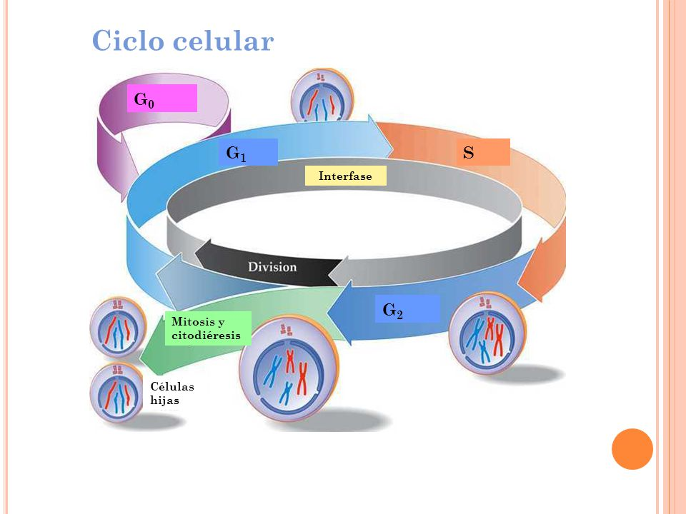 Ciclo celular G0 G1 S G2 Interfase Mitosis y citodiéresis