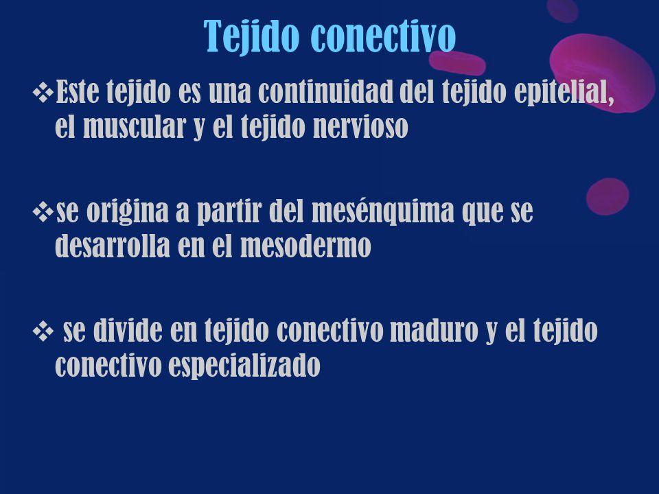 Tejido conectivo Este tejido es una continuidad del tejido epitelial, el muscular y el tejido nervioso.
