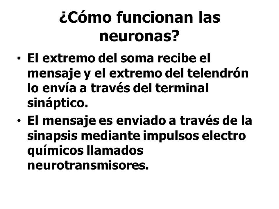 ¿Cómo funcionan las neuronas