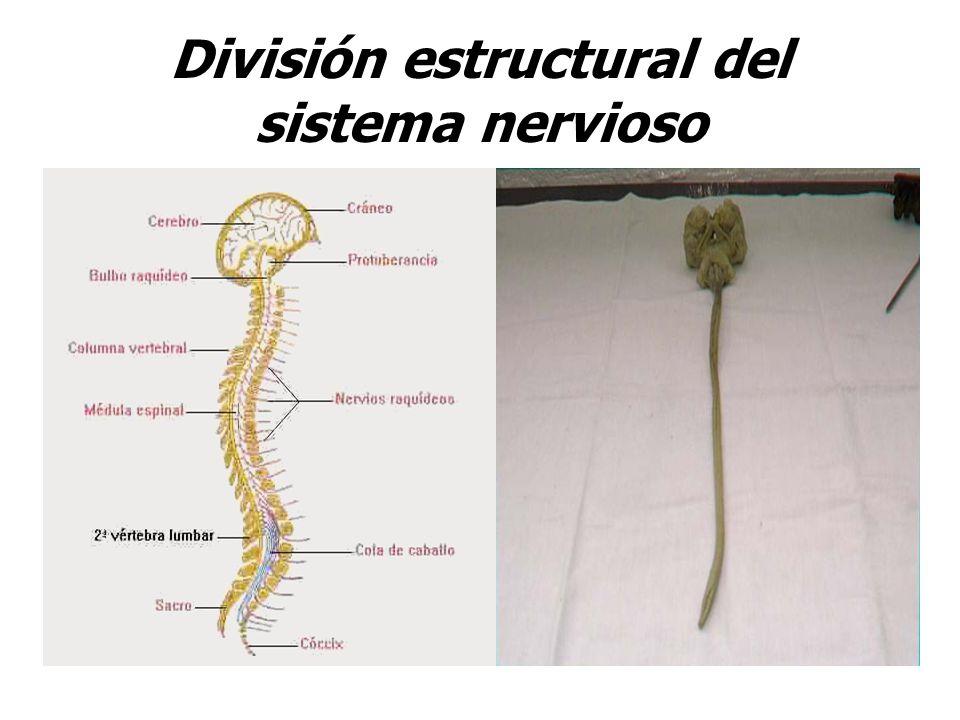 División estructural del sistema nervioso
